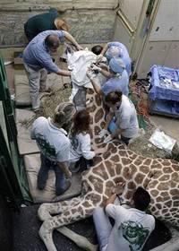 051005_giraffe_vmedwidec