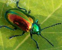 Iridescent_beetlef