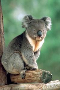 Koalaaustralia