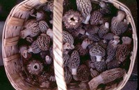 Morels_in_basketmgw