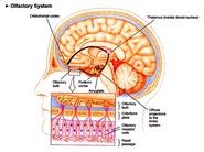 Olfactorysys2