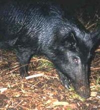 Wildhog